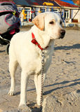 Labradorhunden bevakar barnvagnen Arkivfoton