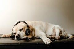 Labradorhundsova och headphone Fotografering för Bildbyråer