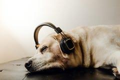 Labradorhundsova och headphone på sängen Royaltyfri Bild