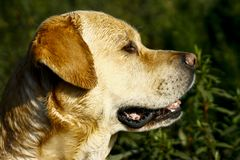 Labradorhuvud som från sidan vänder mot fotografering för bildbyråer