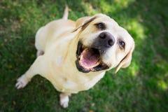 Labradorleende i morgonen Royaltyfri Foto