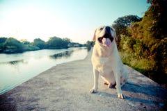 Labradorleende i sjön Arkivbild