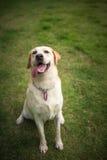 Labradorleende och lyckligt Royaltyfri Foto