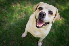 Labradorleende och lyckligt i trädgården Arkivfoto
