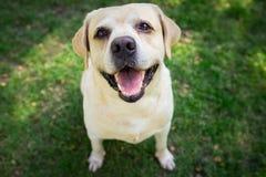 Labradorleende och lyckligt i trädgården Arkivfoton