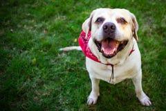 Labradorleende och lyckligt i trädgården och den röda halsduken Royaltyfri Fotografi