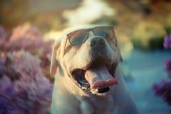 Labradorleende och solglasögon Royaltyfria Foton