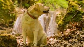 Labradorportret tegen een waterval Mooie toneel stock videobeelden