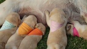 Labradorpuppy die de borst van hun moeder masseren om melk te krijgen stock videobeelden