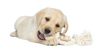 Labradorpuppy, 2 maanden oud die, die en een kabel kauwen liggen Royalty-vrije Stock Afbeelding