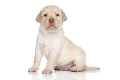 Labradorpuppy, portret op een witte achtergrond Royalty-vrije Stock Afbeeldingen