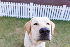 Labradorretriver som luktar i trädgården Arkivfoto