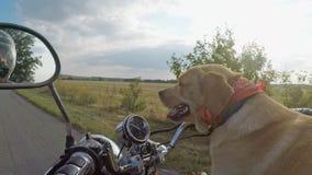 Labradorritten in motorfiets stock videobeelden