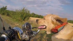 Labradorritten in motorfiets stock footage