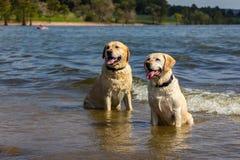Labradors在湖 免版税库存图片
