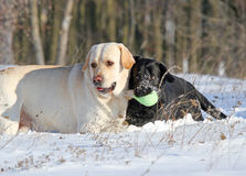 2 labradors в зиме в снеге Стоковое Изображение RF