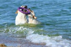 Labradors играя в море с игрушкой Стоковые Изображения RF