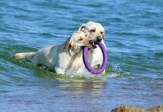 Labradors играя в море с игрушкой Стоковое фото RF