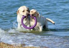 2 labradors играя в море с игрушкой Стоковые Фотографии RF