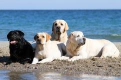 4 labradors играя на портретах моря Стоковые Изображения