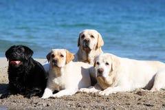 4 labradors играя на портретах моря Стоковые Фото