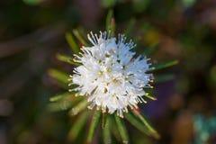 Labradors красивые болота растя в естественной среде обитания болота Пейзаж заболоченного места с цветком весны Стоковые Изображения