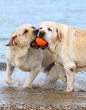 Labradors на море играя с шариком Стоковые Фотографии RF
