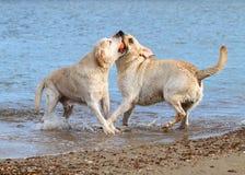 Labradors на море играя с шариком Стоковая Фотография