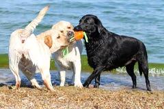 3 labradors на море играя с шариком Стоковое Фото