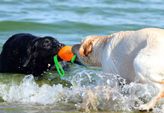2 labradors на море играя с шариком Стоковое Фото