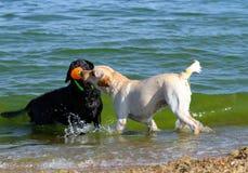 Labradors на море играя с шариком Стоковое Фото