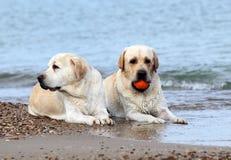 Labradors на море с шариком Стоковые Фото