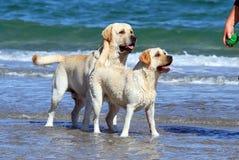 2 labradors на море с шариком Стоковые Изображения