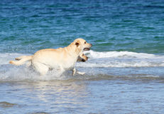 Labradors на море с шариком Стоковое Изображение RF