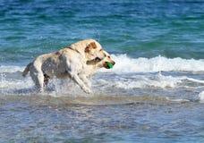 2 labradors на море с шариком Стоковые Фотографии RF