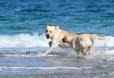 2 labradors на море с шариком Стоковое Изображение