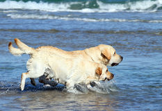 Labradors на море Стоковые Изображения RF