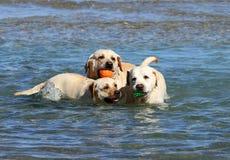 3 labradors на море Стоковое Фото