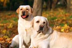 labradors осени паркуют желтый цвет 2 Стоковые Изображения RF