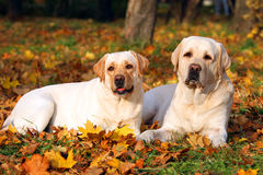 labradors осени паркуют желтый цвет 2 Стоковые Фотографии RF