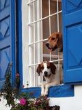 2 Labradors смотря вне окно Стоковая Фотография