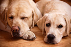 Labradors Royalty Free Stock Images