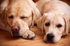 Labradors Imagens de Stock Royalty Free