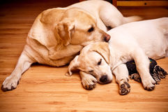 Labradors Foto de Stock Royalty Free