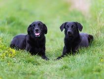 黑色labradors 图库摄影