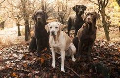 labradors Fotografering för Bildbyråer