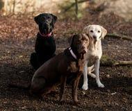 labradors Royalty-vrije Stock Afbeelding