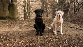 labradors Royalty-vrije Stock Foto