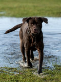 labradors Photos stock