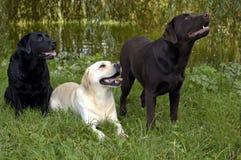Labradors royalty-vrije stock foto's